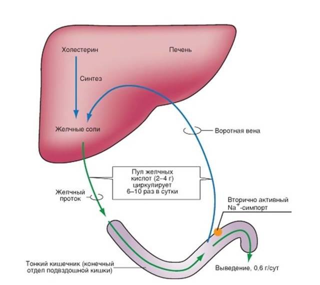 Холестаз: симптомы, лечение у взрослых