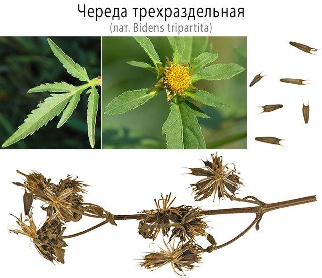Череда: лечебные свойства и противопоказания, трехраздельная, трава
