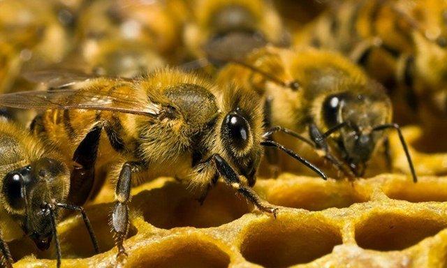 Экстракт Прополиса: водный, пчелиного подмора и применение
