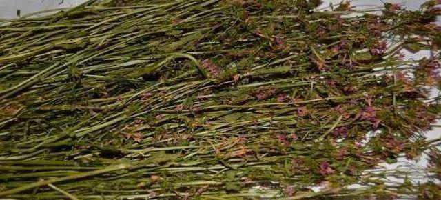 Золототысячник: лечебные свойства и противопоказания, трава