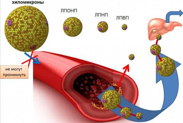 Липидный спектр крови: расшифровка, что это такое, что показывает