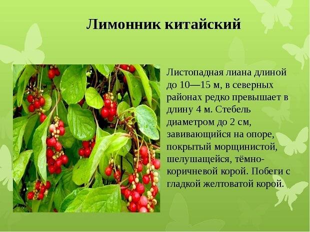 Настойка семян лимонника: инструкция по применению, показания