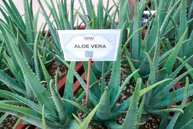 Лекарство из Алоэ: в домашних условиях, долгого хранения