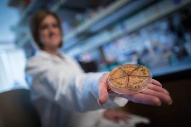 Эти кишечные бактерии предотвращают ожирение у мышей